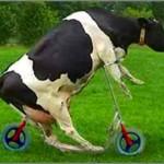 vaca louca 150x150 Vaca fia de uma égua ou nada é tão ruim que não possa piorar...