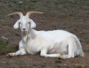 cabra 300x228 Bizarro:Homem é obrigado a se casar com uma cabra!
