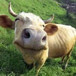 vaca feliz 150x150 Humor: tirinhas dos Cavaleiros do Zodíaco !