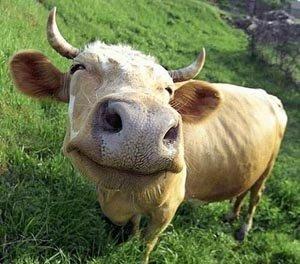 Cientistas descobrem vaca que produz leite desnatado!