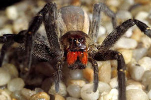 aranha Picada de aranha faz pessoas terem ereção de até 4 horas!