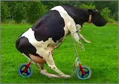 vaca louca Bizarro: perfume feito de pum de vaca faz sucesso na Alemanha!