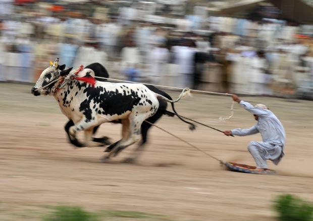 Paquistaneses lançam novo esporte: o esqui bovino!