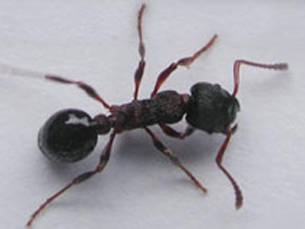 Bizarro: vespa transforma formiga em zumbi!
