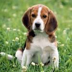 Instituto Royal e os beagles resgatados – entenda aqui essa polemica