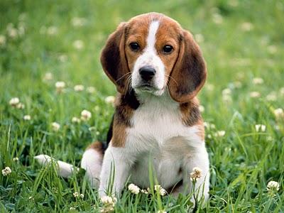 beagle intituto royal