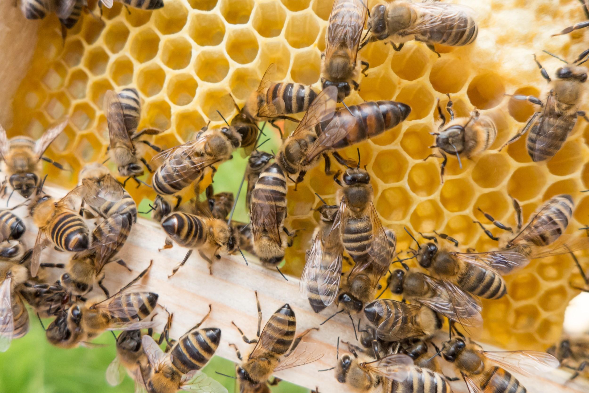 Plantio de milho transgênico matou 37 milhões de abelhas? Saiba a verdade!